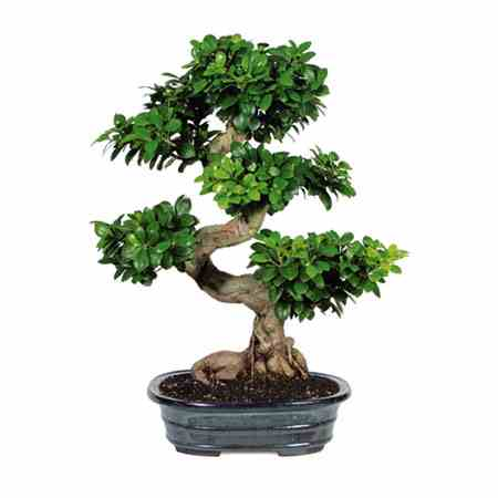 how to make money selling bonsai trees